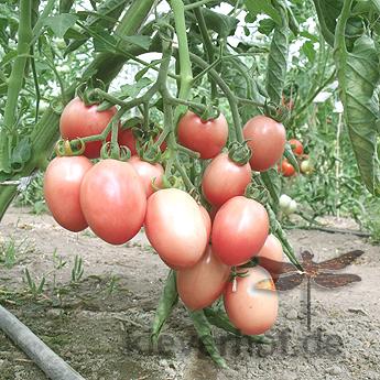 Rot/Pinke Demeter Tomatenvielfalt