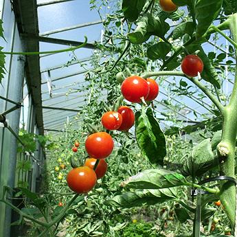 Tomatensaatgut Gärtner's Lust, kleine Früchte