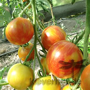 Striped Turkish, mehrfarbig-gestreifte Früchte