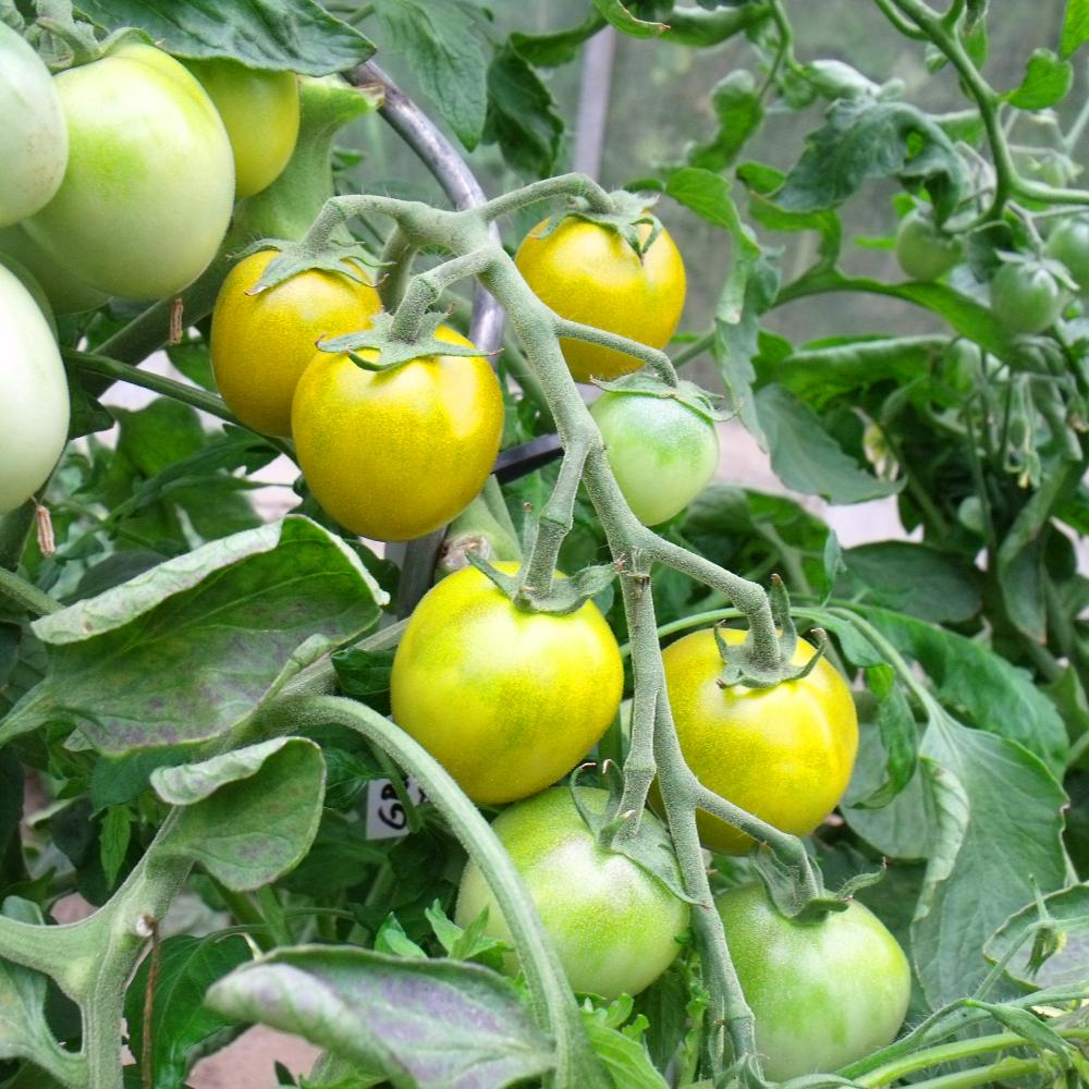 Gelb Grüngestreifte Tomate
