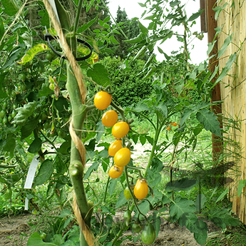 Gelbe Cherry Demeter Tomatenfrüchte