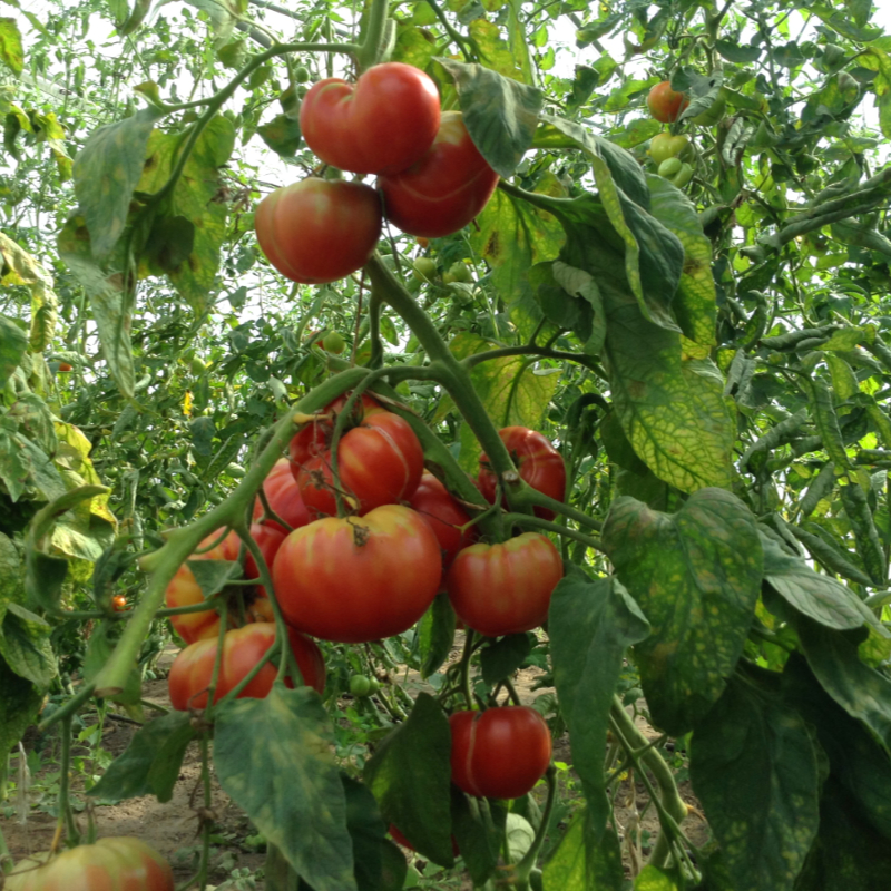 Tomatensaatgut Chianty Rosé