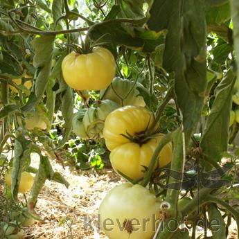 Milchperle, weisse Früchte