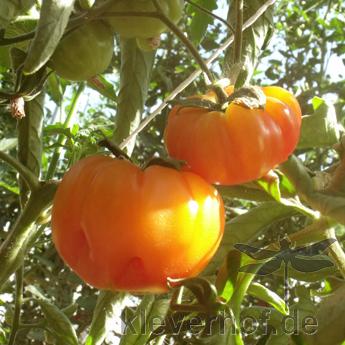 Tomate Hillbilly, mehrfarbige Früchte