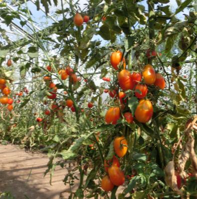 Tomatensaatgut Piedmont, mittelgrosse Früchte