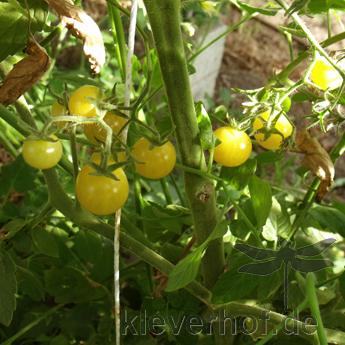 White Current, wilde Tomaten