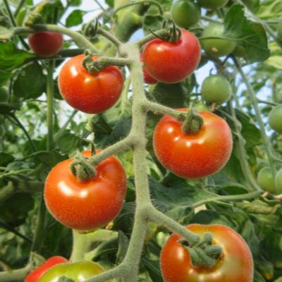 Rote Pelzige Tomatenvielfalt