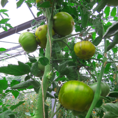 Tomatensaatgut Grüne Helarios
