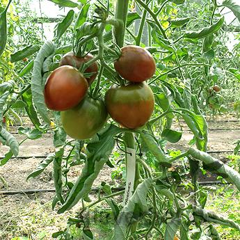 Nyagous, braune bis schwarze Früchte