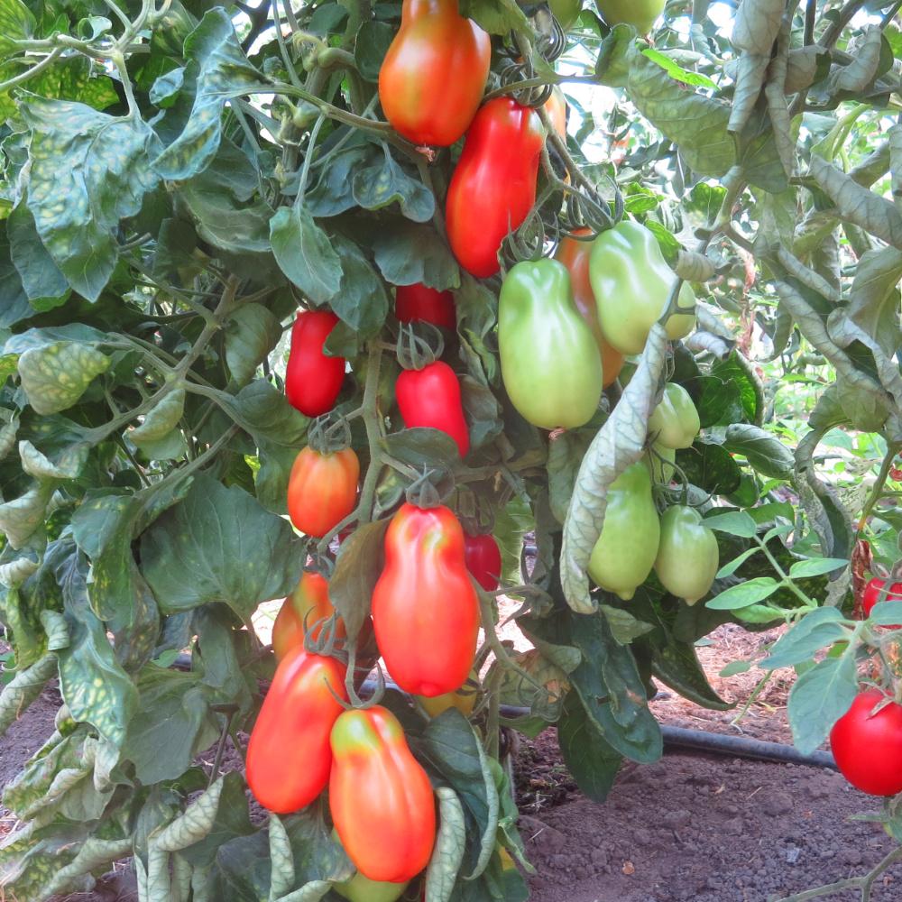Tomatensaatgut Scatolone