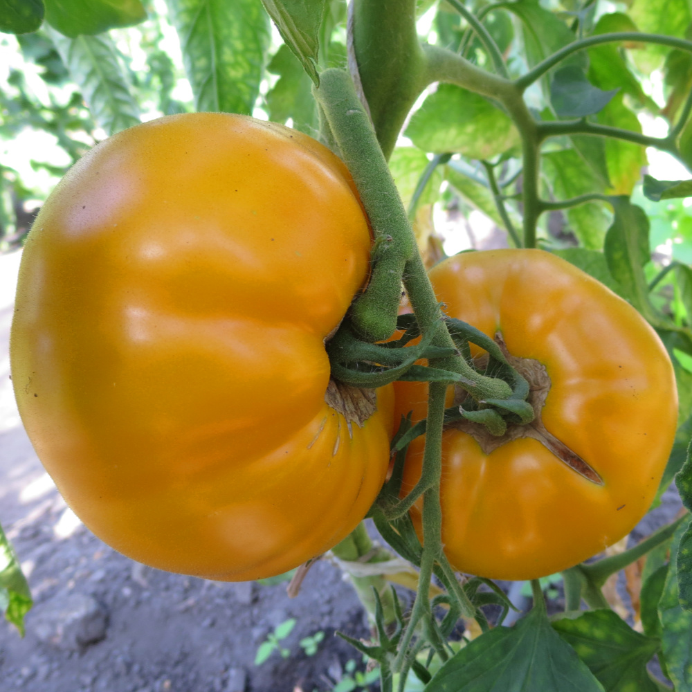 Orange Fleischtomate