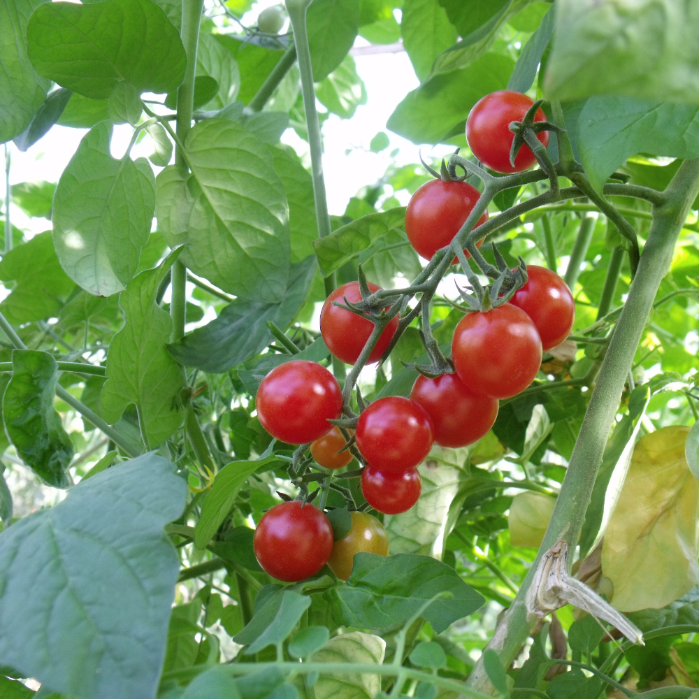 Tomatensaatgut Current Red