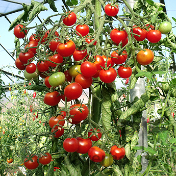 Tomatensaatgut Christmas Grapes, kleine Früchte