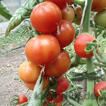 Orange Demeter Tomatenfrüchte