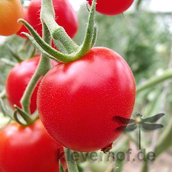 Tomatensaatgut Harzfeuer, mittelgrosse Früchte