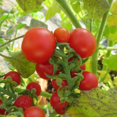 Rote Demerter cherry Tomatensorte