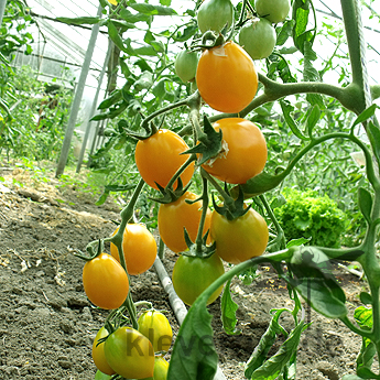 Orange Cherry Tomatenvielfalt