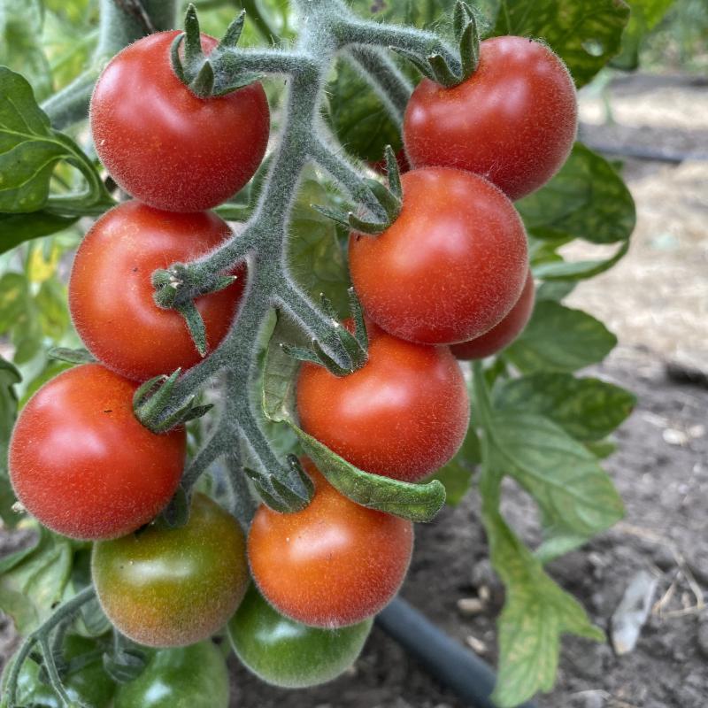 Pelzige Tomate mit Geschmack