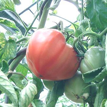 Herztomate, grosse Früchte