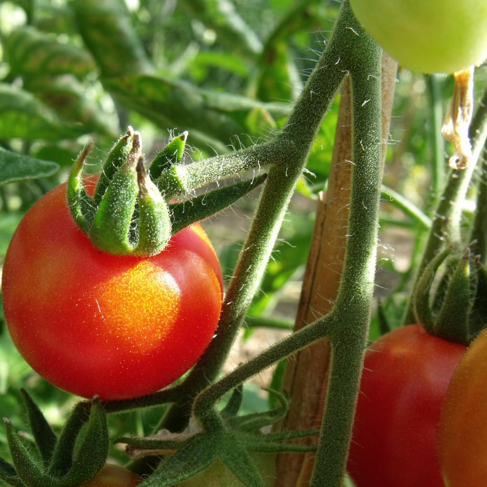 Tomatensaatgut Columbianum