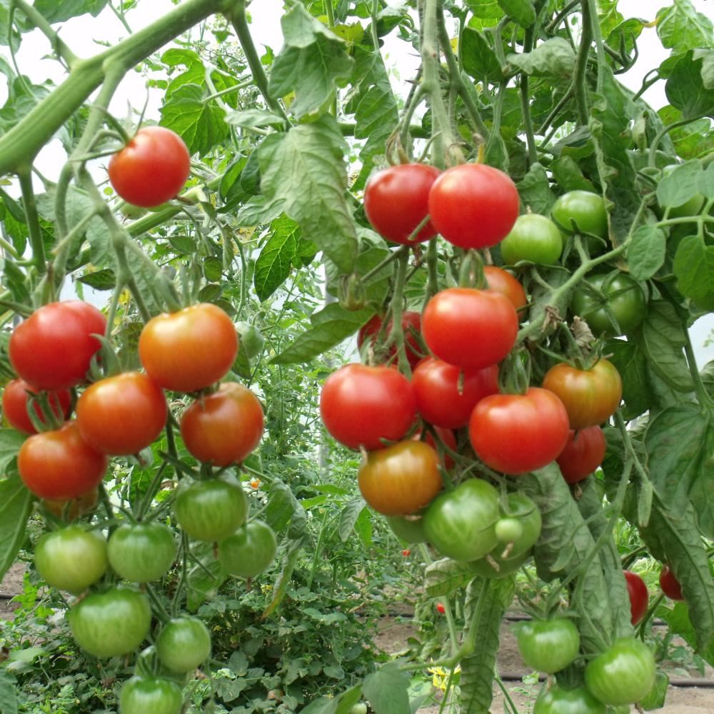 Tomatensaatgut Cerise Rot