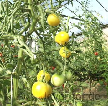 Tomatensaatgut Weisser Pfirsich
