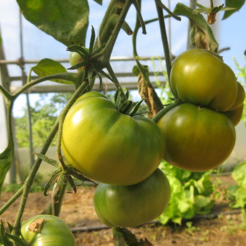 Tomatensaatgut Absinthe, grosse Früchte