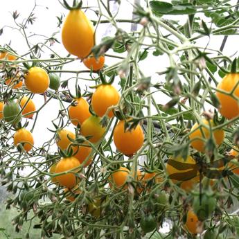 Kleine Estländische Gelbe, kleine Früchte