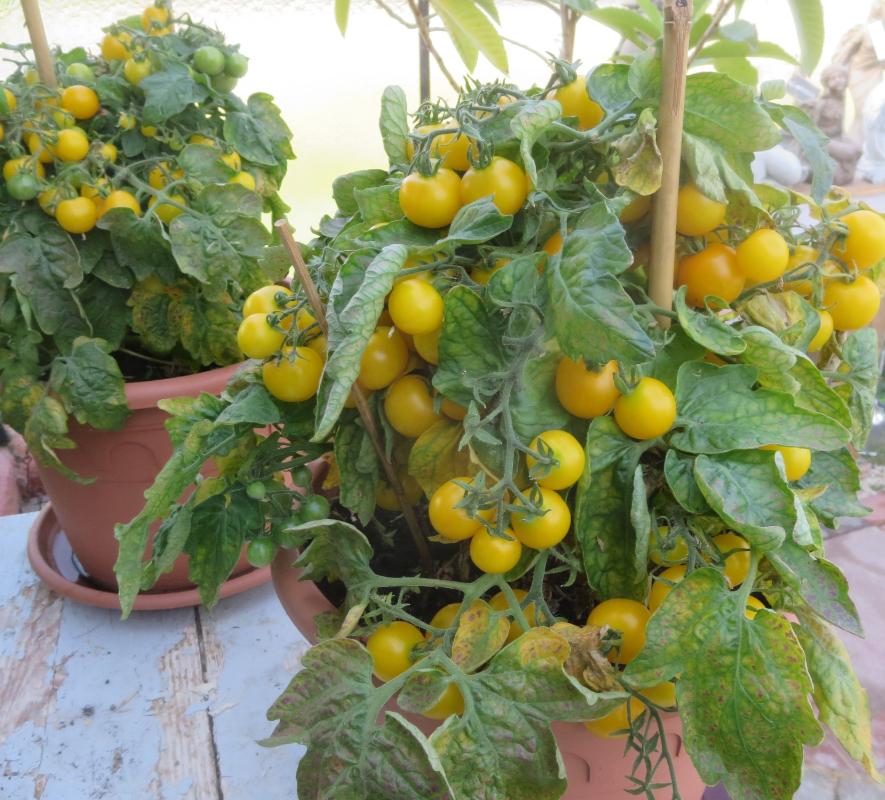 Gelbe Cherry Bio Tomaten