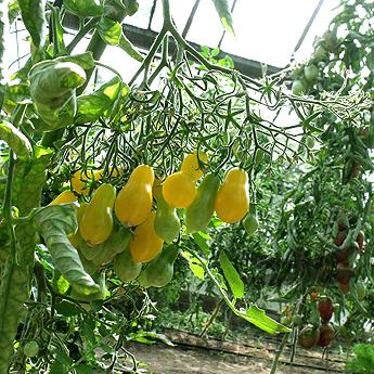 Dominica, kleine Früchte