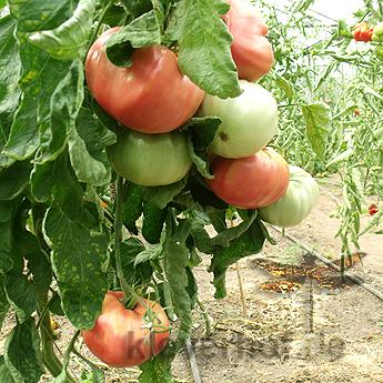 Potiron Ecarlate, grosse Früchte