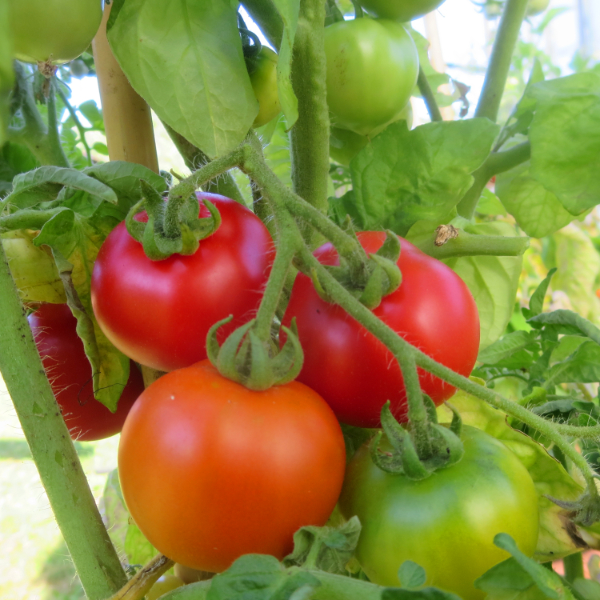 Tomatensaatgut Edelrot, mittelgrosse Früchte