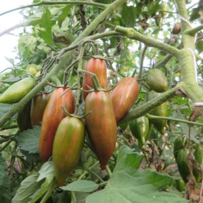 Braune Tomatenfurcht mit gürnen Streifen