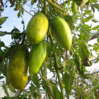 Grün gestreifte längliche Tomatenfrüchte