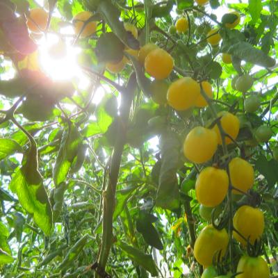 Tomatensaatgut Iva's Sweet White, mittelgrosse Früchte