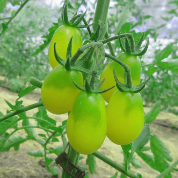 Tomatensaatgut Ivory Drops, kleine Früchte