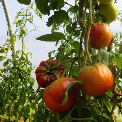 Tomatensaatgut Ruby Surprise, grosse Früchte