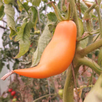 Tomatensaatgut Buratino, grosse Früchte