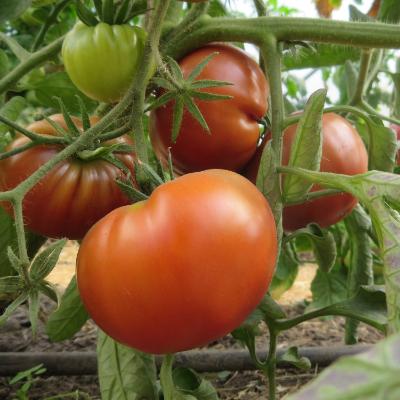 Tomatensaatgut Copper River, grosse Früchte