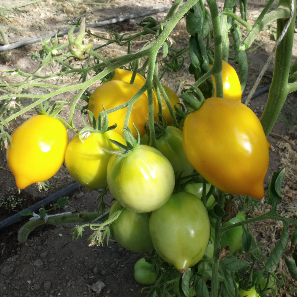 Zitronförmige Tomatenvielfalt