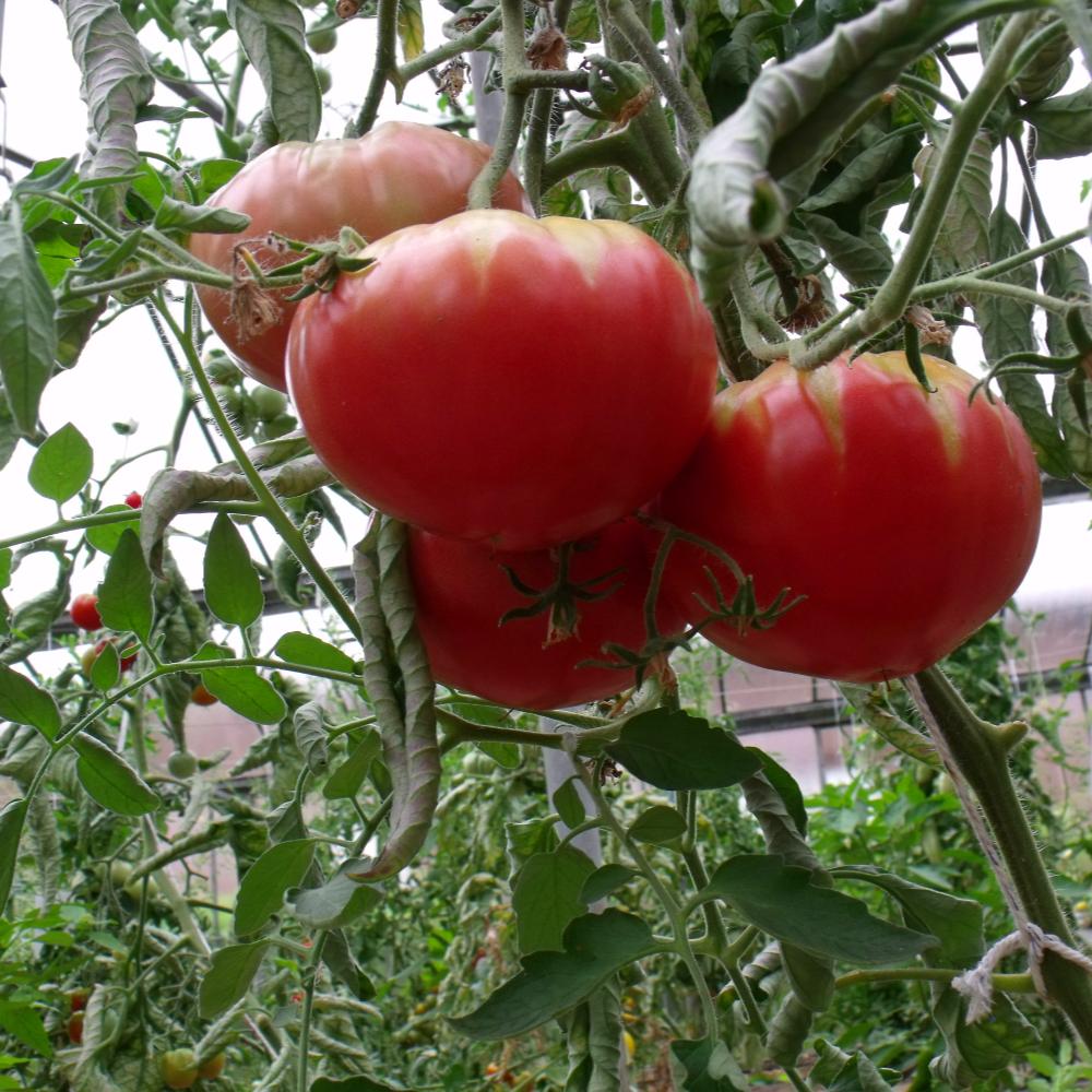 Tomatensaatgut Caspian Pink