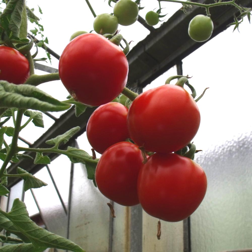 Tomatensaatgut Chadwick's Cherry