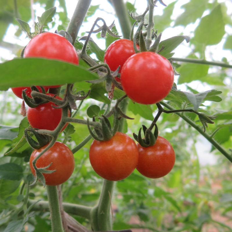 Tomatensaatgut Barbaniaka, kleine Früchte