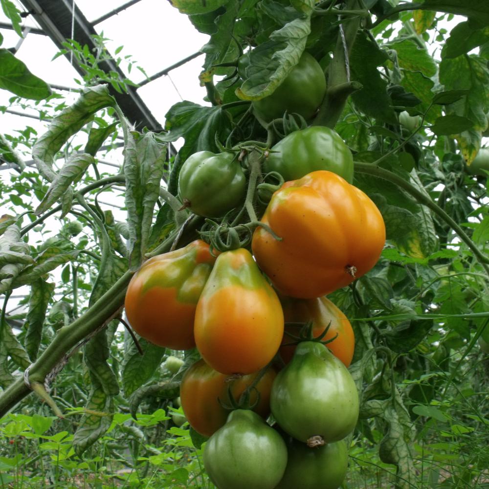 Tomatensaatgut Peruanische Beuteltomate