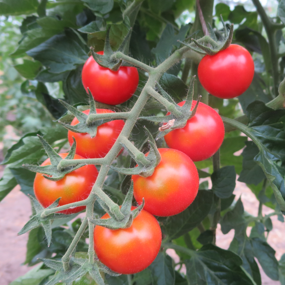 Tomatensaatgut Resi