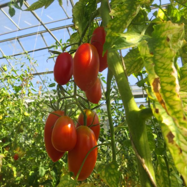 Rote längliche Tomatenfrucht
