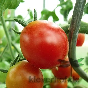 Tomatensaatgut Dunkelrote Kirschtomate, kleine Früchte