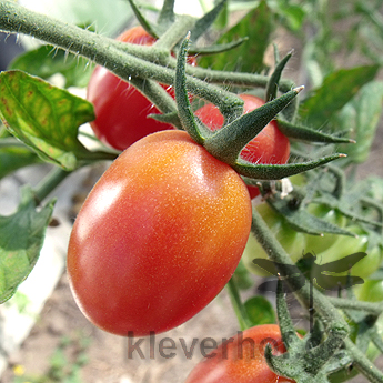 Rosalita, klein bis mittelgrosse Früchte