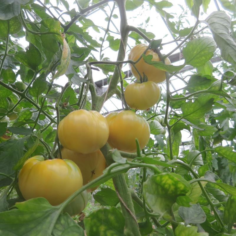 Tomatensaatgut Big White Pink Stripes, grosse Früchte