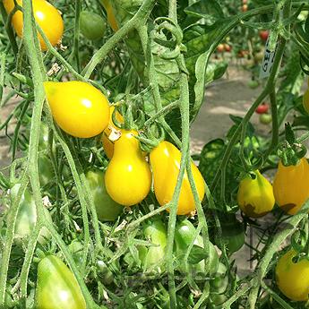 Gelbe Dattelwein, wilde Tomaten
